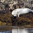 White sea lion — Stock Photo