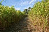 Maze in a corn field — Stock Photo