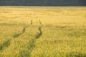 Campo de trigo dourado — Foto Stock