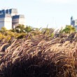Spikelets on the background of modern office buildings — Stockfoto