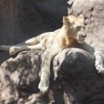 León blanco descansando a la sombra en el zoológico — Foto de Stock