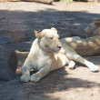 Foto Stock: White lion resting in the shade at the zoo
