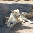 Stockfoto: White lion resting in the shade at the zoo