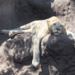 White lion resting in the shade at the zoo — ストック写真 #10916366