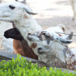 Stock Photo: Goats in open zoo aviary