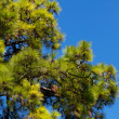 Pine tree against the blue sky — Stock Photo