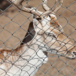 Deer behind bars in a zoo — Stock Photo #10916678
