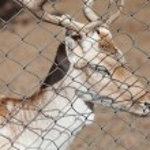 Deer behind bars in a zoo — Stock Photo