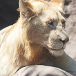White lion resting in the shade at the zoo — 图库照片