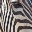 Zebra in an open cage at the zoo - Stock Photo