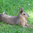 Patagonian mara lying on the green grass - Stock Photo