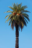 Palm tree on the background southern blue sky — Foto de Stock