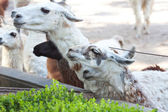 Goats in the open zoo aviary — Stock Photo