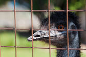 Portrait of an ostrich behind bars in a zoo — Stock Photo
