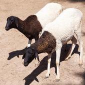 Preto e brancas ovelhas dentro de uma jaula aberta no zoológico — Foto Stock