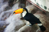 Beautiful toucan in the aviary at the zoo — Stock Photo