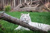 Weißer Tiger in einem offenen Käfig im zoo — Stockfoto