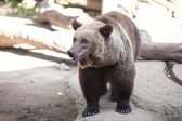 Brown bear in an open cage at the zoo — Stock Photo