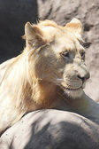 White lion resting in the shade at the zoo — Stock Photo