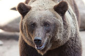 Portrait of a beautiful brown bear outdoor — Stockfoto
