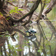 Duck in a pond on a background of trees — ストック写真