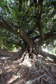 Corona di un grosso albero verde — Foto Stock