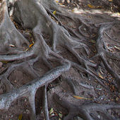 Large roots of the oldtree — Foto de Stock