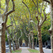 Beautiful avenue of plane trees — Stock Photo