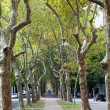 Stock Photo: Beautiful avenue of plane trees
