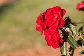 庭の美しいバラの背景 — ストック写真