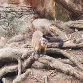 Monkeys against a large tree roots in the zoo — Stock Photo
