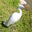 White heron on the grass near the pond — Stockfoto