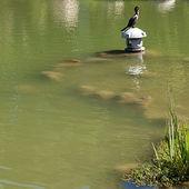 坐在池塘的背景上的鸬鹚鸟 — 图库照片