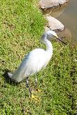 White heron on the grass near the pond — Stock Photo