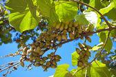 Groene vruchten op een boom in het park — Stockfoto