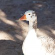 Beautiful white goose in nature — Stock Photo #11353244