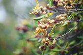 Tropiska frukter på en trädgren — Stockfoto