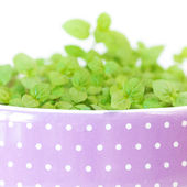Mint in a pot isolated on white — Stock Photo