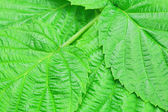Background of green leaves of raspberry — Stock Photo