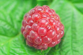 Raspberries and green leaves — Stock Photo