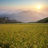 Beautiful paddy with nice backgroun — Stock Photo