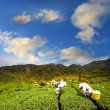 Green tea farm with blue sky - Stock Photo