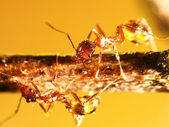 2mm ANT — Stock Photo