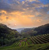 Plantation of tea on mountain — Stock Photo