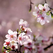 Pink sakura flower — Stock Photo