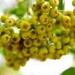Arrow wood green berries closeup — Stock Photo