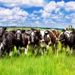 Cattle in the meadow — Stock Photo #11634105