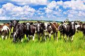 在草地上的牛 — 图库照片