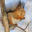 Squirrel. — Stock Photo