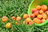 Apricot moldered on herb — Stock Photo
